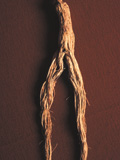 korean_ginseng