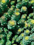rhodiola_and_ginseng_complex